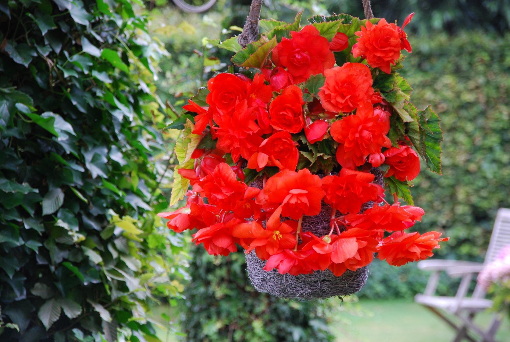 3 Begonia Cascading Orange