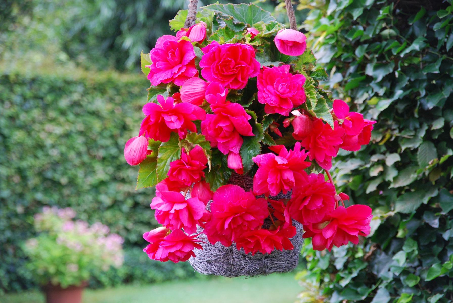 3 Begonia Cascading Pink