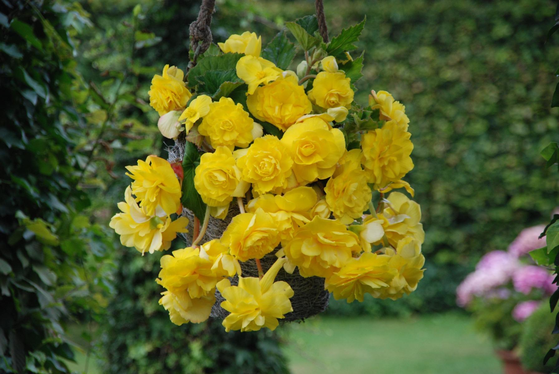 3 Begonia Cascading Yellow