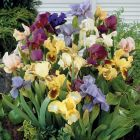 Dwarf Bearded Iris Mixed