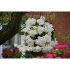 3 Begonia Cascading White