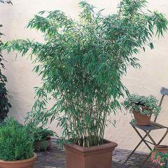 Fargesia murieliae (Hardy Bamboo)