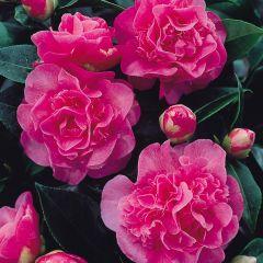 Camellia Debbie