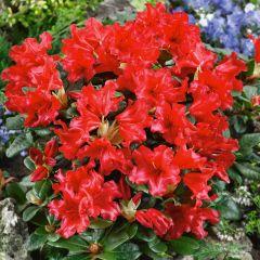 Scarlet Wonder Rhododendron