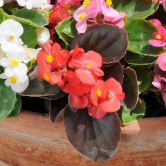 Begonia Semp Organdy Mixed