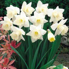 Daffodil Mount Hood