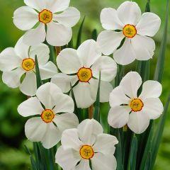 Daffodil Actaea