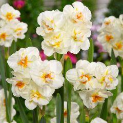 15 Daffodil Sir Winston Churchill