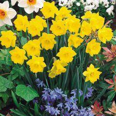 Tenby Daffodils 10/12cm