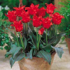 10 Tulip Red Riding Hood