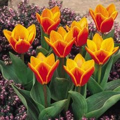 Tulip Early Harvest