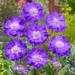 Scabiosa Clive Greaves