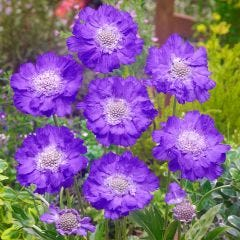 Scabiosa Clive Greaves (7cm)