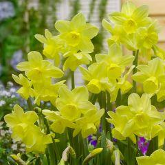 15 Narcissi Stint