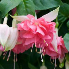 6 Fuchsia Peach Princess