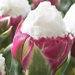 Tulip Ice Cream