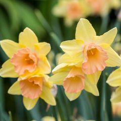 15 Narcissi Blushing Lady