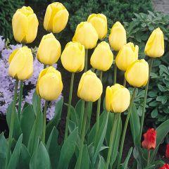 10 Tulip Golden Apeldoorn