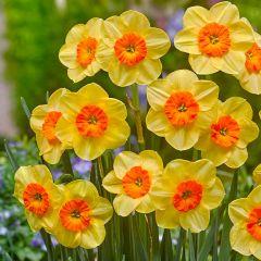 15 Narcissi Kedron