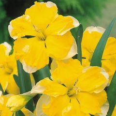 10 Narcissi Chanterelle
