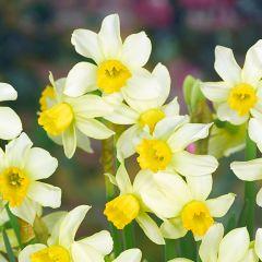 15 Narcissi Spring Sunshine