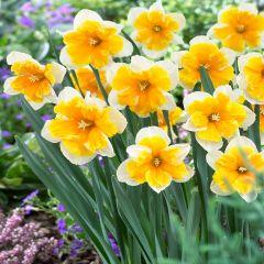 10 Narcissi Orangery
