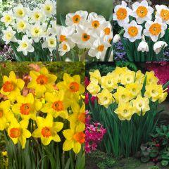 75 Daffodil UK-Grown Collection