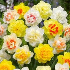 Double Daffodils Mixed