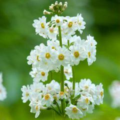 6 Primula Candelabra White
