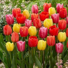 Luxury Giant Darwin Tulips Mixed