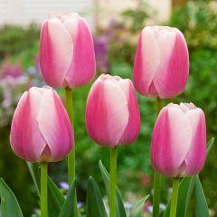 10 Tulip Ollioules