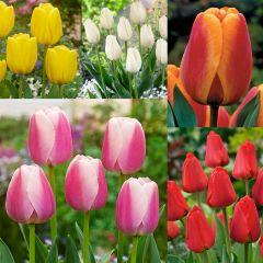 50 Darwin Tulip Collection
