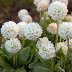 6 Primula Denticulata Alba