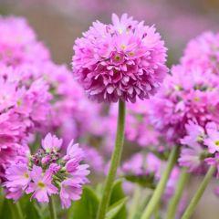 6 Primula Denticulata Pink