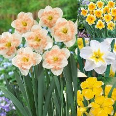 40 Narcissi Rare Butterfly Collection