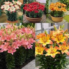 25 Short Stemmed Lily Collection