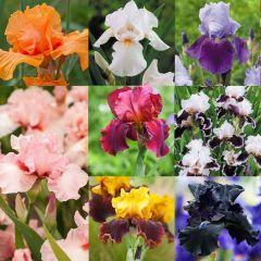 8 Iris Germanica Collection