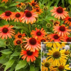 2 Echinacea Skipper Collection