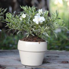 Gardenia Golden Crown
