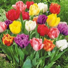 Tulip Double Early Mixed