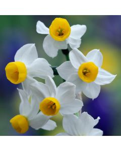 20 Narcissi Canaliculatus