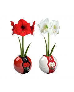 Red & White Indoor Christmas Amaryllis