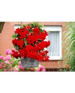 3 Begonia Cascading Scarlet Red