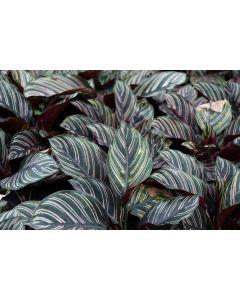 Calathea 'Sanderiana' House Plant