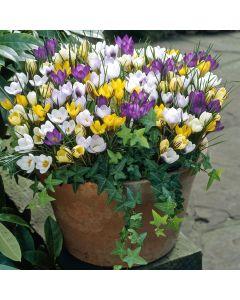 Winter Flowering Crocus Mixed