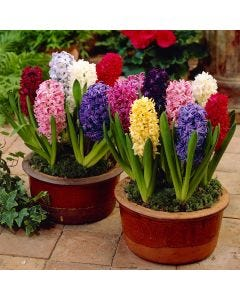 Bedding Size Hyacinths Mixed
