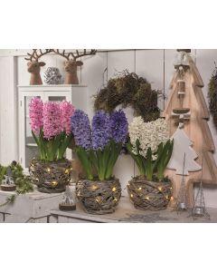 Indoor Christmas Hyacinth 3 Pack