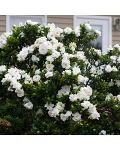 Gardenia Crown Jewel