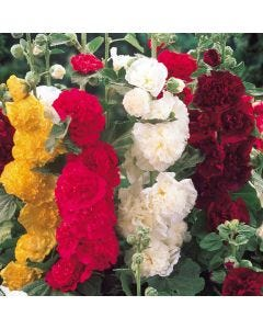 6 Hollyhocks Mixed