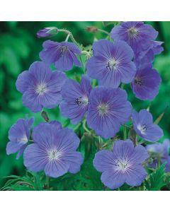 3 Geranium Johnson's Blue